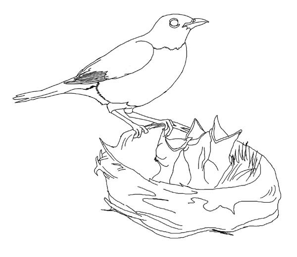 hungry robin babies coloring page download amp print online