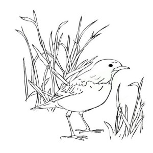 red robin coloring page robin robin bird standing on the ground