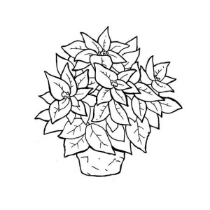 poinsettia flower coloring sheet coloring pages now