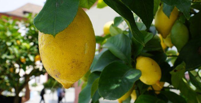 Coltivare Pianta Di Limone Guida Per Principianti