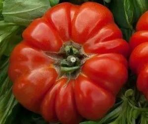 Come coltivare pomodori biologici