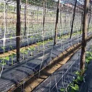 Coltivare fagiolini - ragnetto rosso-campo di fagiolini con reti di sostegno e pacciamatura