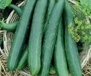 Coltivare cetrioli - cetriolo varietà lungo verde degli ortolani
