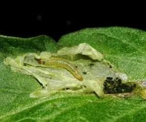 Danni della larva di tuta absoluta su una foglia di pomodoro