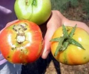 Pomodori danneggiati dalla tuta absoluta
