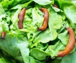 Allontanare le lumache - attacco limacce su insalata