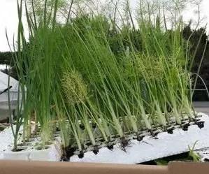 Coltivare finocchi - finocchi in semenzaio