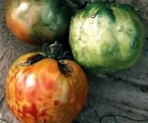 Virosi del pomodoro - stadio avanzato della virosi sui pomodori
