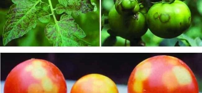virosi del pomodori-malattie del pomodori-bronzatura