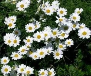 Piretro e Piretroidi - pianta del piretro