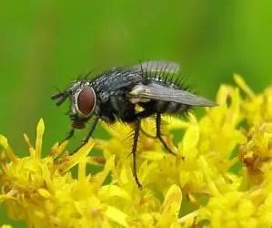 La cavolaia - riconoscimento e difesa biologica - Phryxe vulgaris