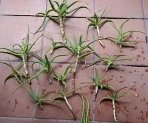 La coltivazione dell'aloe vera e dell'aloe arborescens- nuove piante pronte per l'impianto