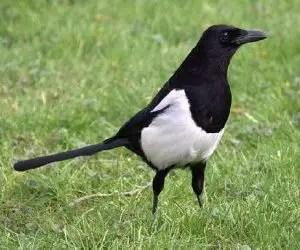 Come allontanare i piccioni e gli uccelli come la Gazza comune Pica Pica