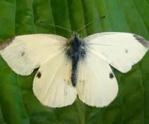La cavolaia - riconoscimento e difesa biologica - farfalla adulta di cavolaia