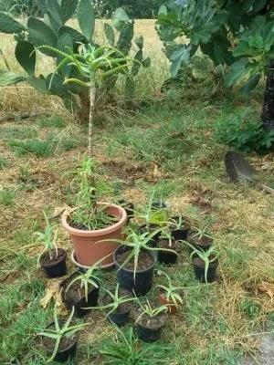 Coltivazione di aloe vera e aloe arborescens