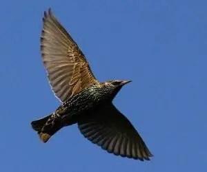 Come allontanare i piccioni e gli uccelli come lo Storno