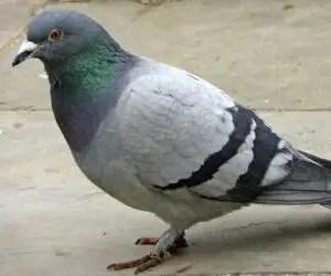 Come tenere lontano i piccioni e gli uccelli - Colombo di città