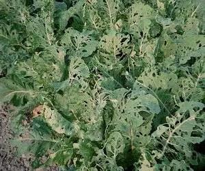 La cavolaia - riconoscimento e difesa biologica - danni da cavolia su foglie di cavolfiore