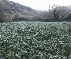 Semina e coltivazione delle cime di rape - campo di rape dopo gelata di dicembre