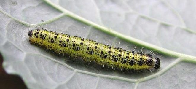 cavolaia-lotta biologica