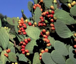 i-fichi-d'india-proprieta-e-coltivazione-biologica-pianta-del-fico-d'india