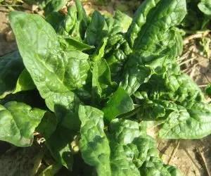 semina e coltivazione degli spinaci-pianta di spinaci