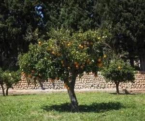 Albero arancio equilibrato