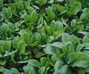 semina e la coltivazione degli spinaci-giusta distanza degli spinaci