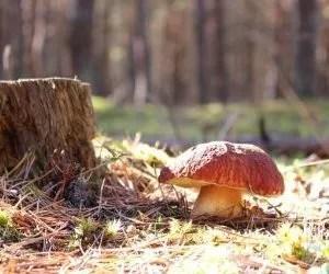 funghi porcini-fungo-che-guarda-il-bosco