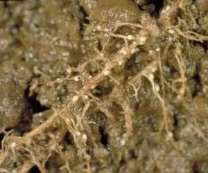 danni da nematodi cisticoli-sovescio di brassicaceae-parassiti del terreno