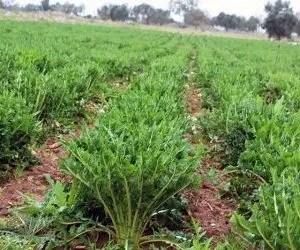 Varietà di cicoria puntarelle passate in padella- coltivazione puntarelle di Galatina