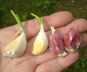 coltivazione aglio-spicchi