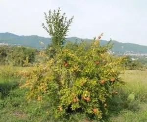 il succo di melograno-coltivazione del melograno