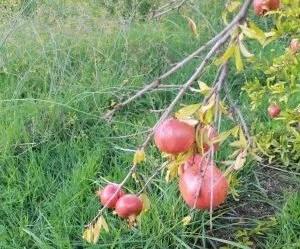 il liquore al melograno-frutti maturi