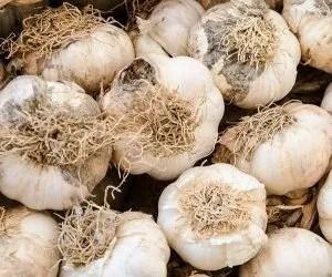 coltivazione aglio-dettaglio delle radici