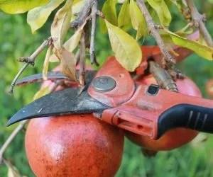 il liquore al melograno-taglio del frutto