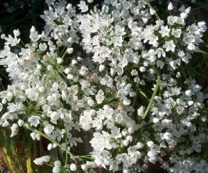 coltivazione aglio in fiore