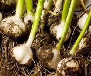coltivazione aglio-teste di aglio