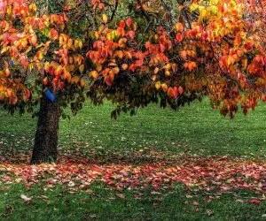 le proprieta dei kaki-foglie gialle e rosse