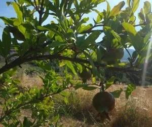 il succo di melograno-coltivazione del melograno-albero e frutto