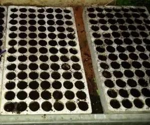 coltivare-la-bietola-semenzaio-in-polistirolo