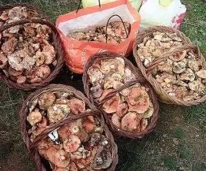 Funghi rositi-lactarius deliciosus-raccolta generosa