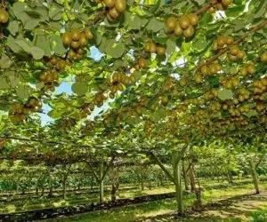 Coltivare piante di kiwi