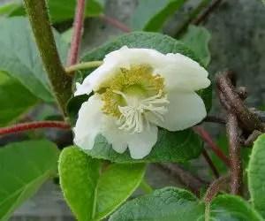 Coltivazione del kiwicon il fiore femminile