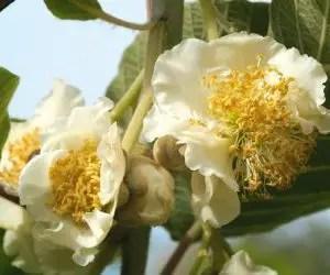 Coltivazione del kiwi con il fiore maschile
