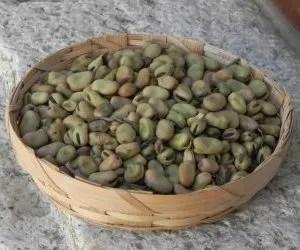 coltivazione delle fave cottora amerino