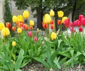 Bulbi dei tulipani olandesi con fiori multipli