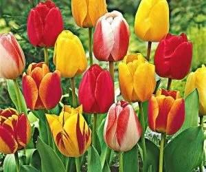 Tulipani olandesi varietà Darwin