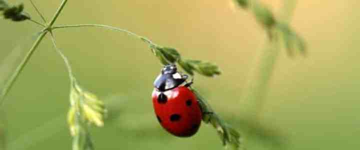 Le coccinelle: insetti utili per l'orto biologico