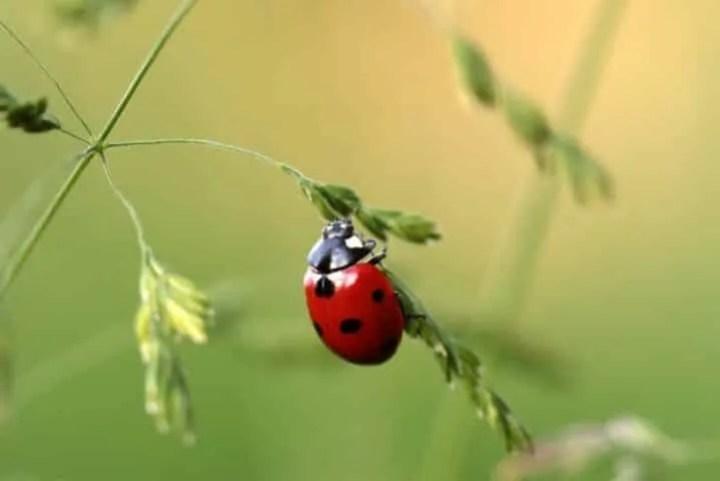 Coccinelle e insetti utili in un orto biologico